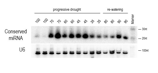 A conserved miRNA shows up and down-regulation during drought treatment