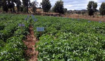 Potato varieties bred at the Hutton being trialled in Kenya