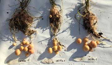 06H1 clones with different tuber cycle